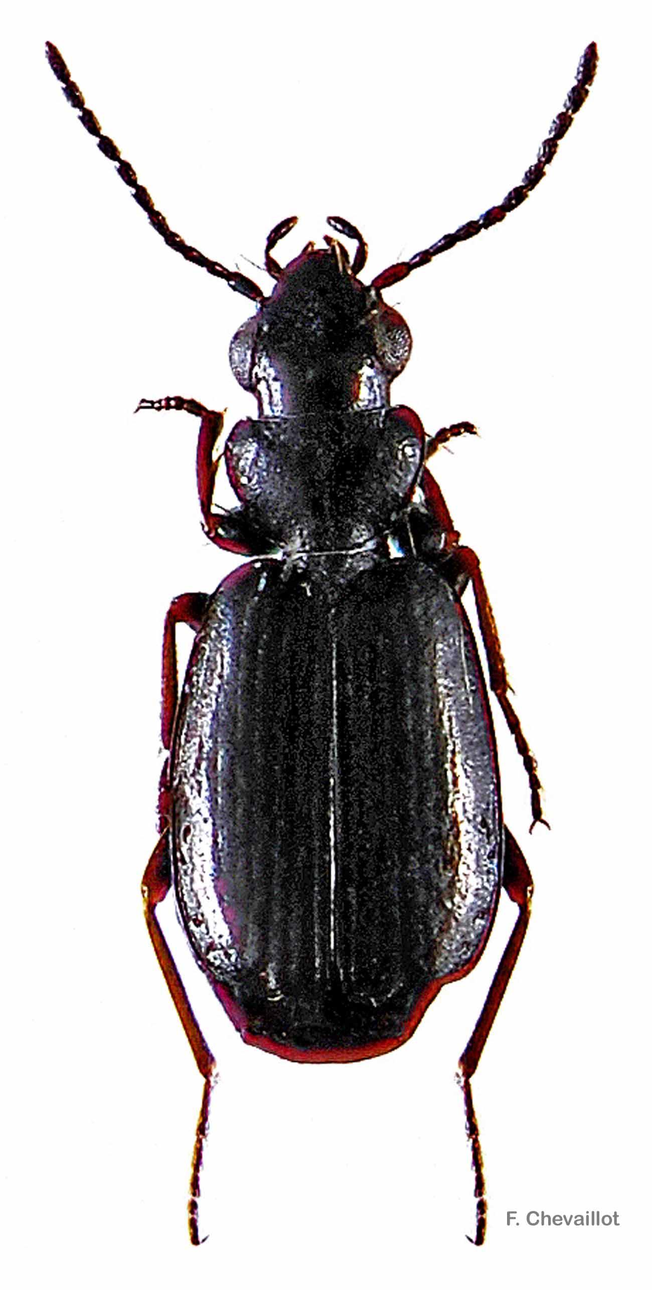 Syntomus truncatellus