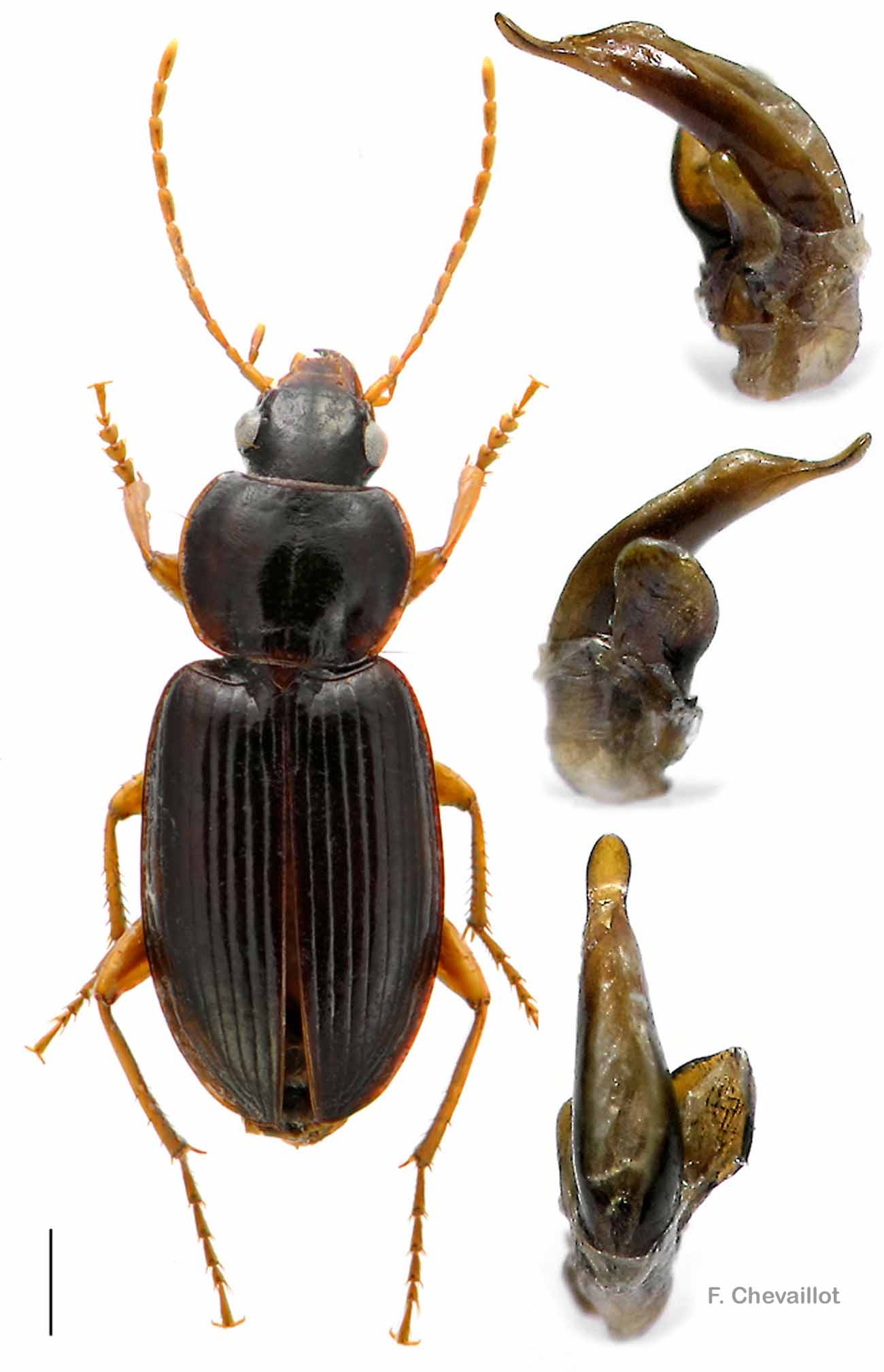 Synuchus vivalis