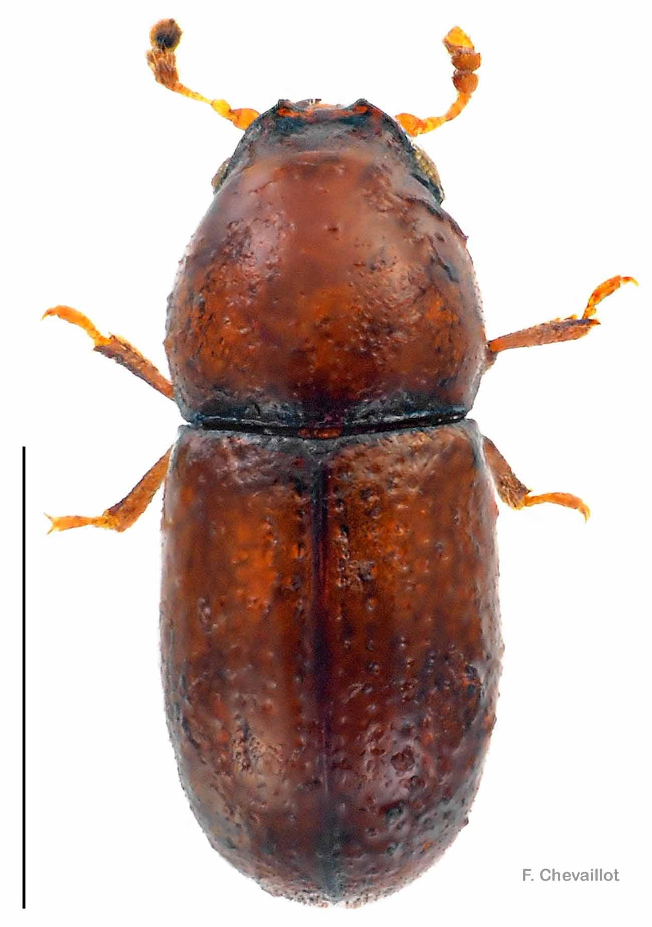 Cis lineatocribratus