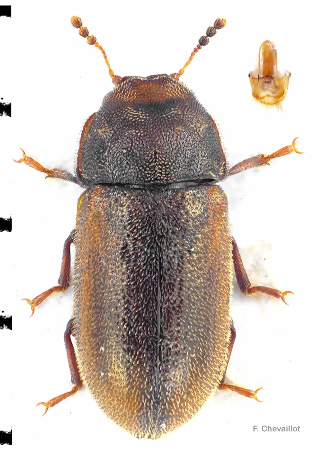 Cis villosulus