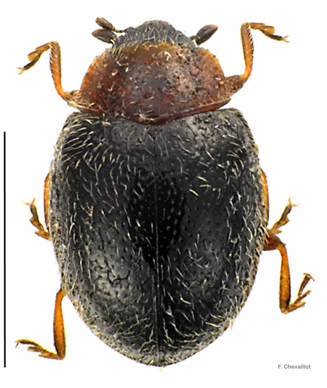 Scymnus fulvicollis