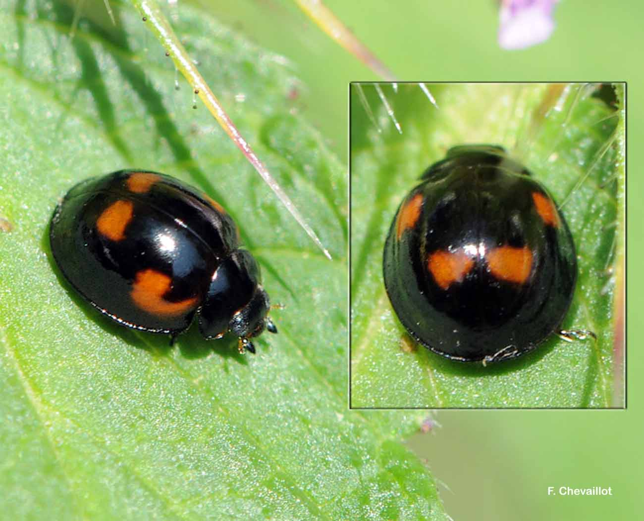 Exochomus quadripustulatus