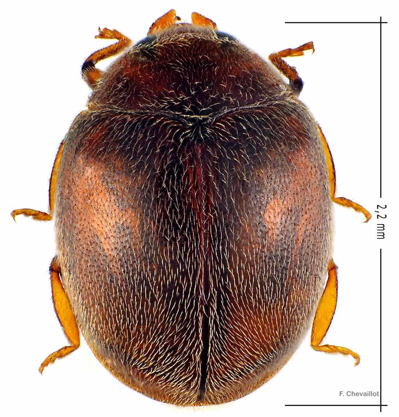 Scymnus subvillosus