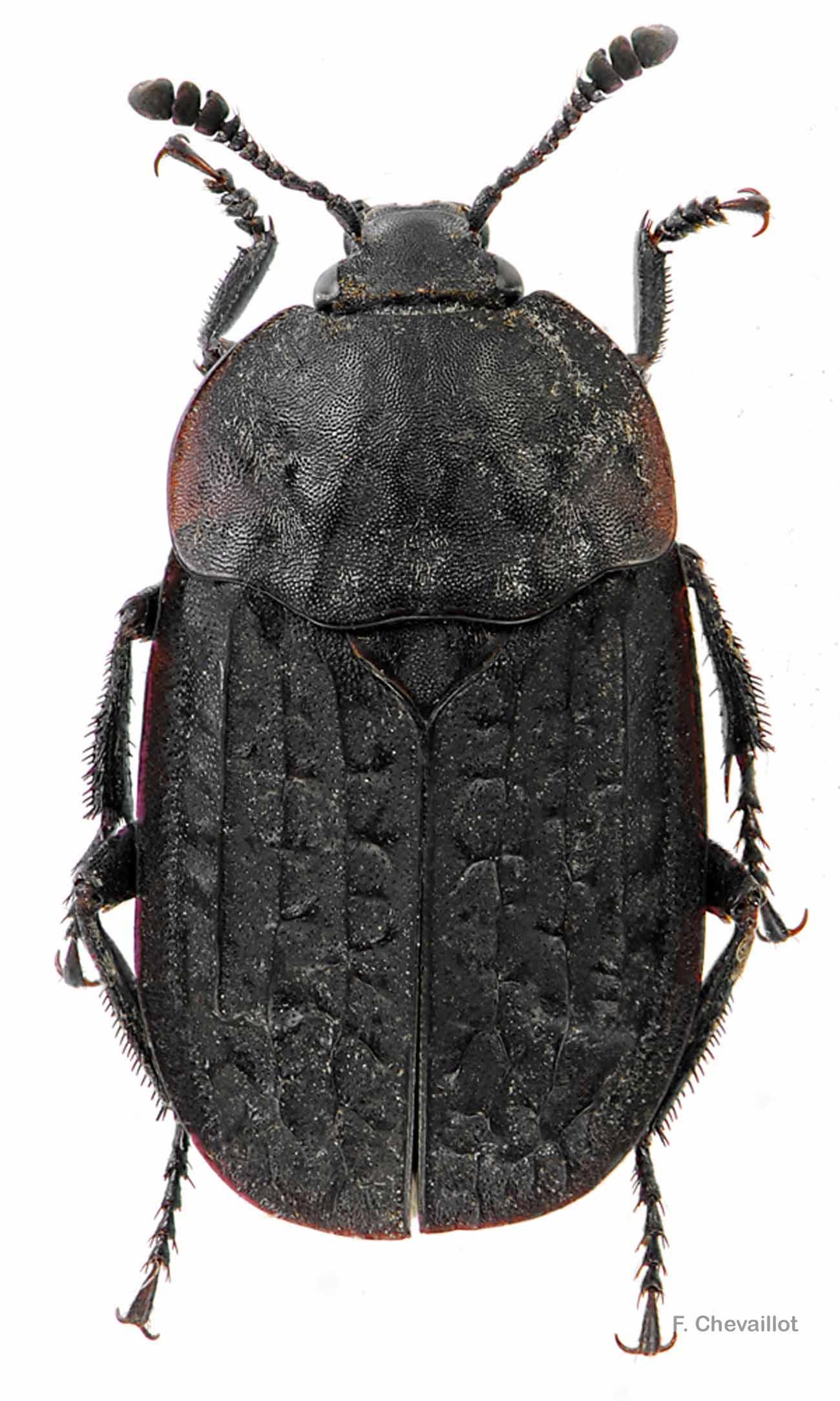 Thanatophilus rugosus