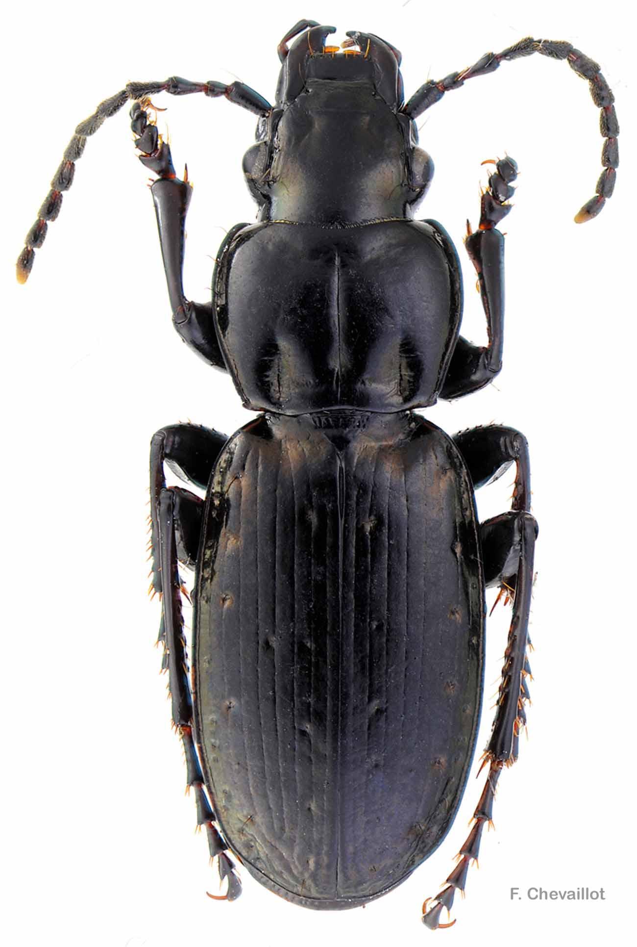 Pterostichus selmanni