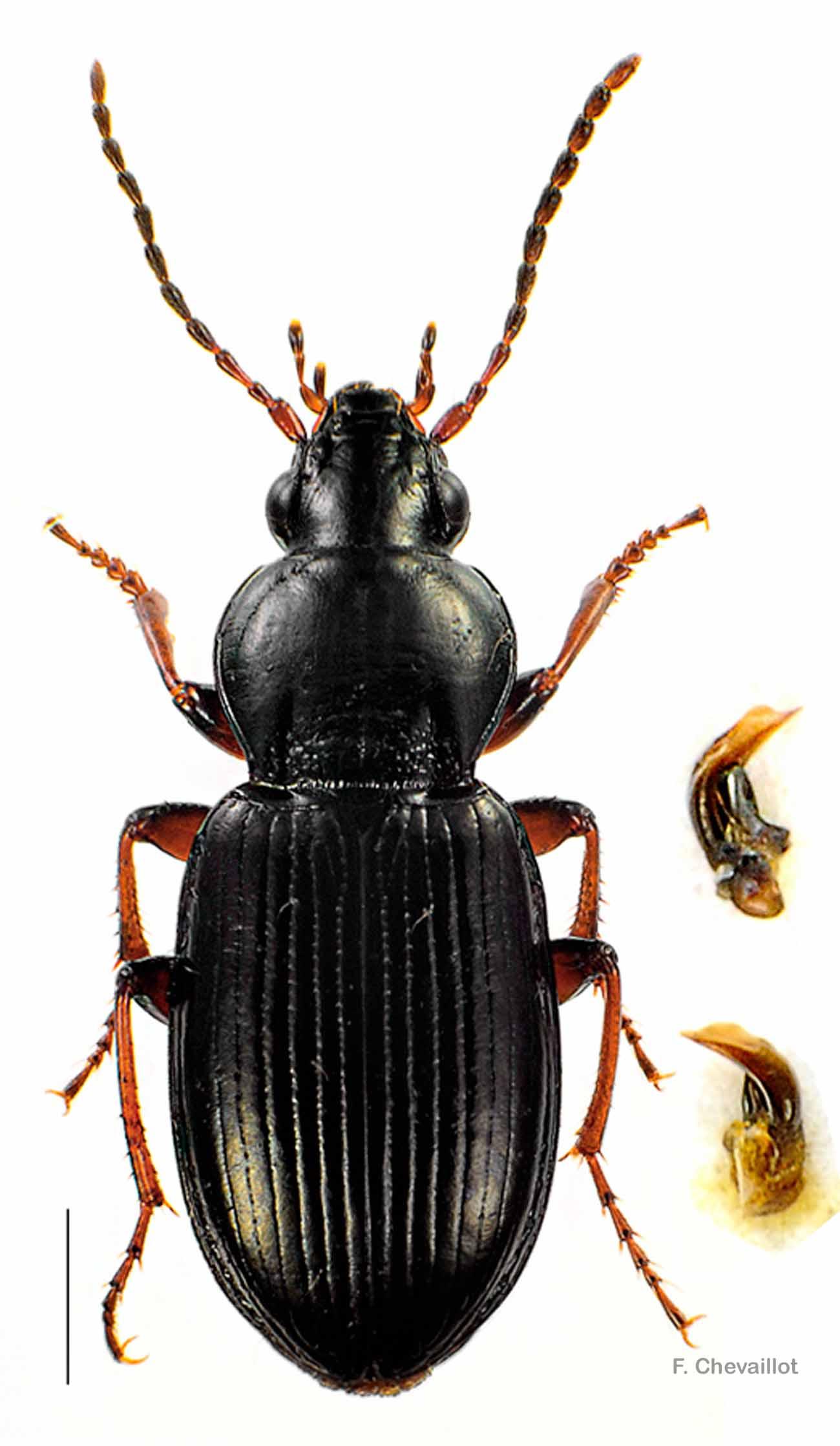 Pterostichus strenuus