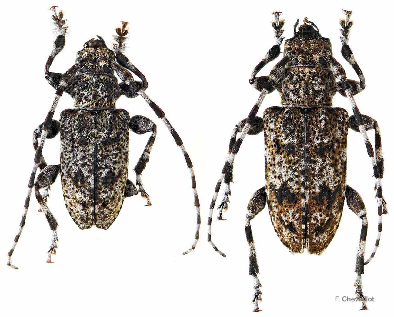 Aegomorphus clavipes