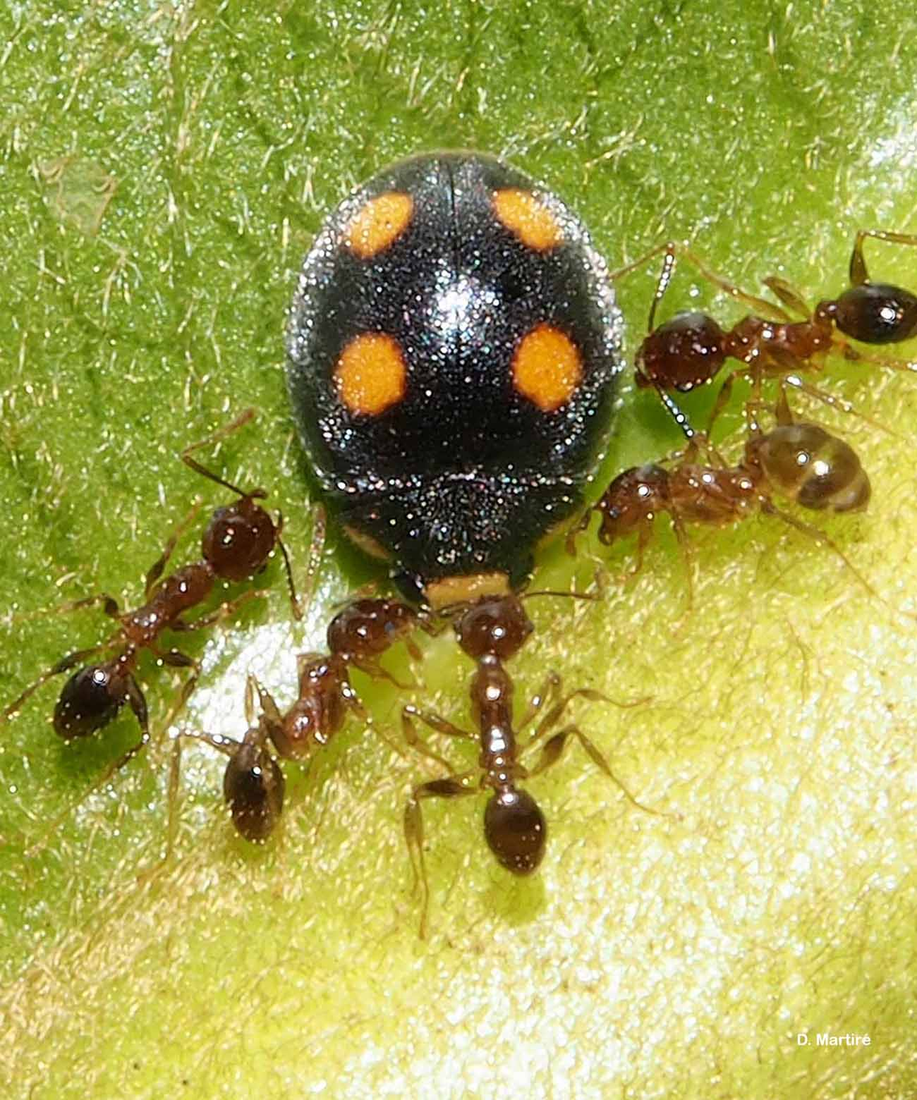 Platynaspis capicola