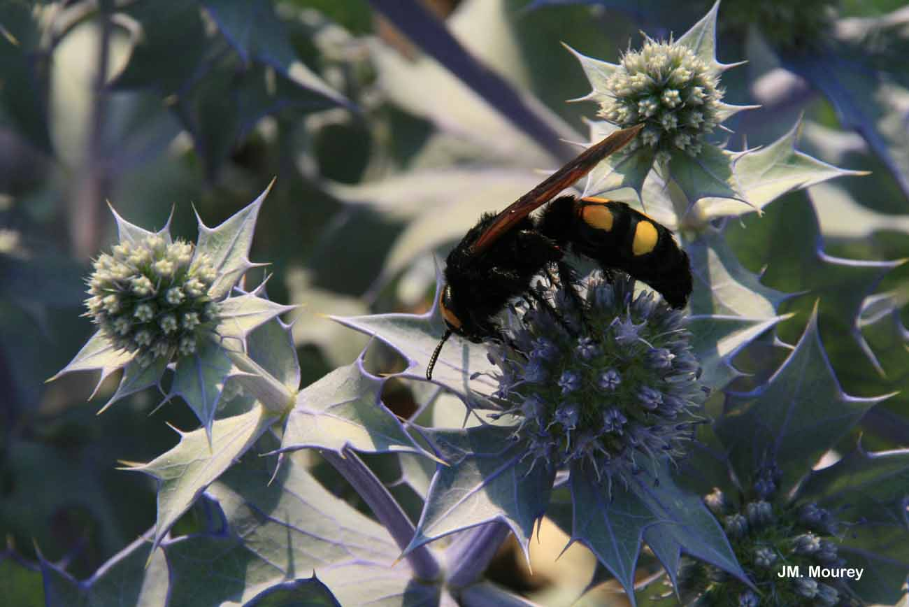 Megascolia maculata flavifrons