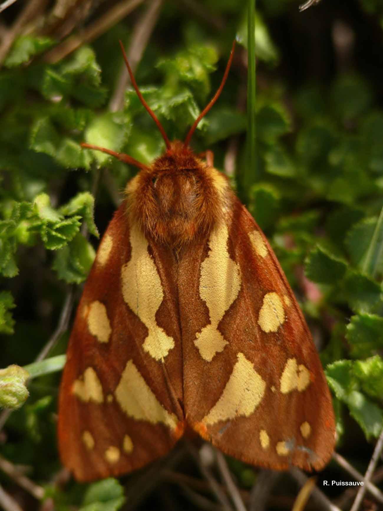 Hyphoraia testudinaria