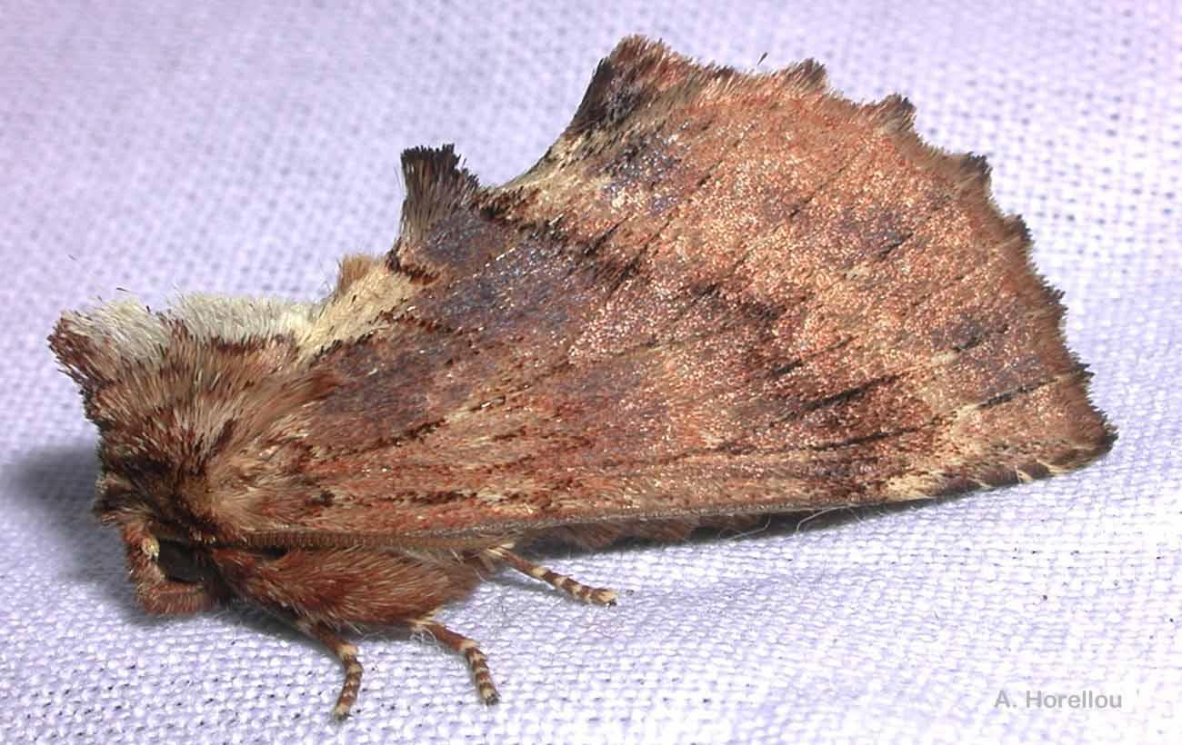 Ptilodon capucina