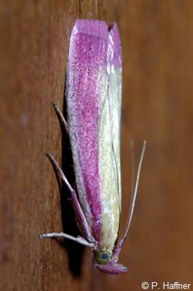 Oncocera semirubella