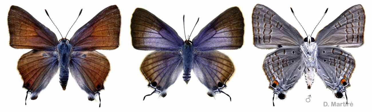 Deudorix antalus