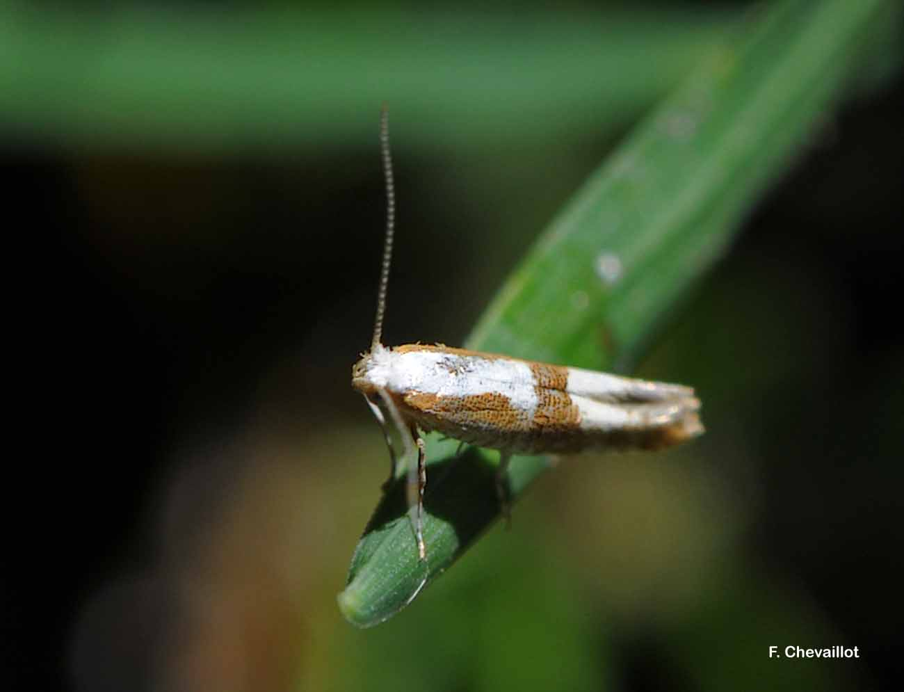 Argyresthia pruniella