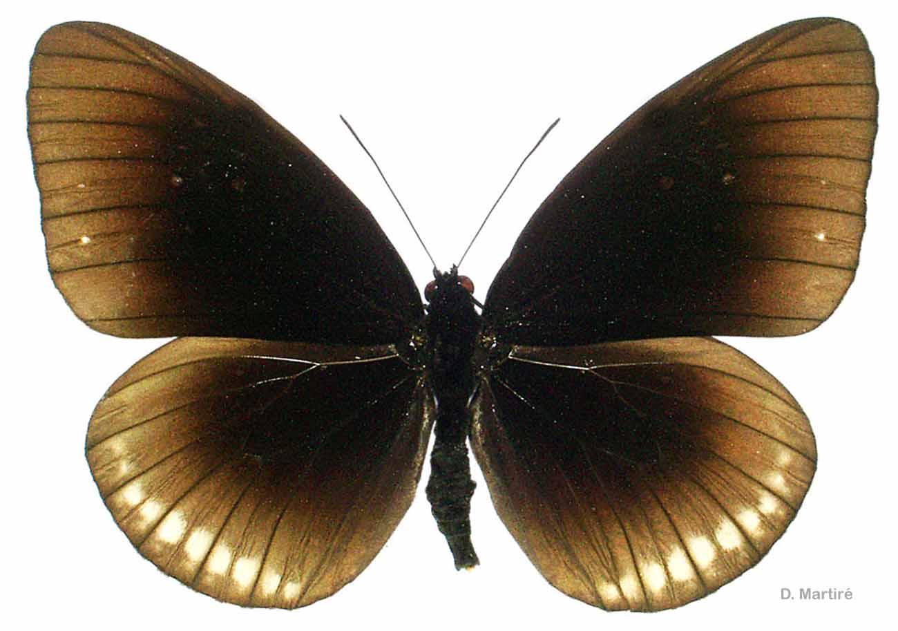 Euploea goudotii