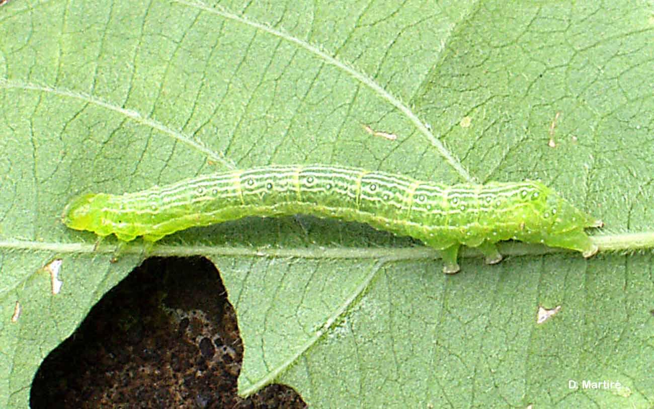 Chrysodeixis chalcites