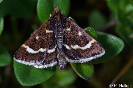 Pyrausta nigrata