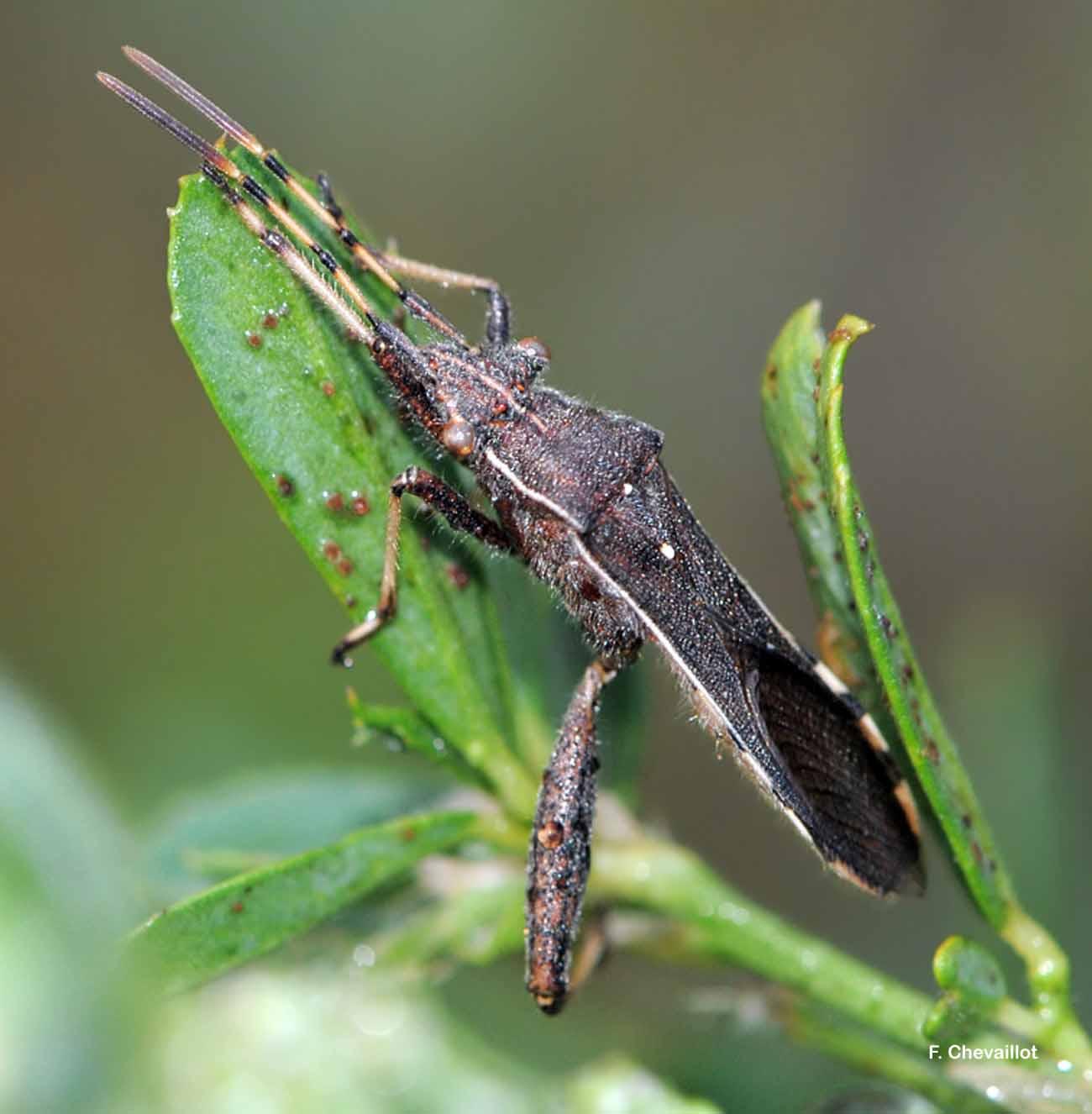 Camptopus lateralis