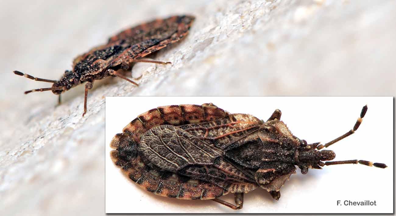 Aradus betulae