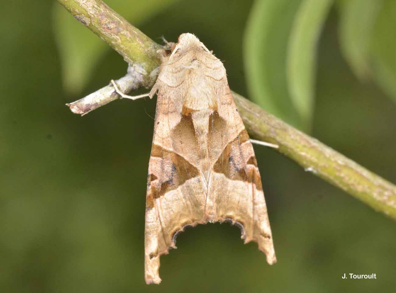 Phlogophora meticulosa