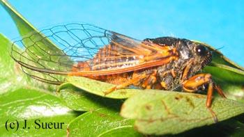 Cicadetta cantilatrix
