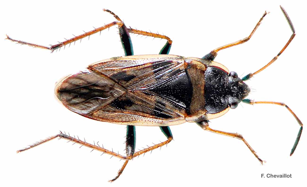 Xanthochilus quadratus