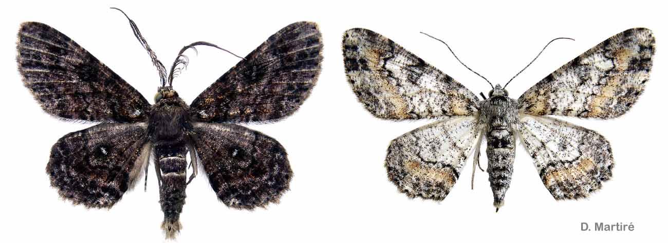 Cleora acaciaria