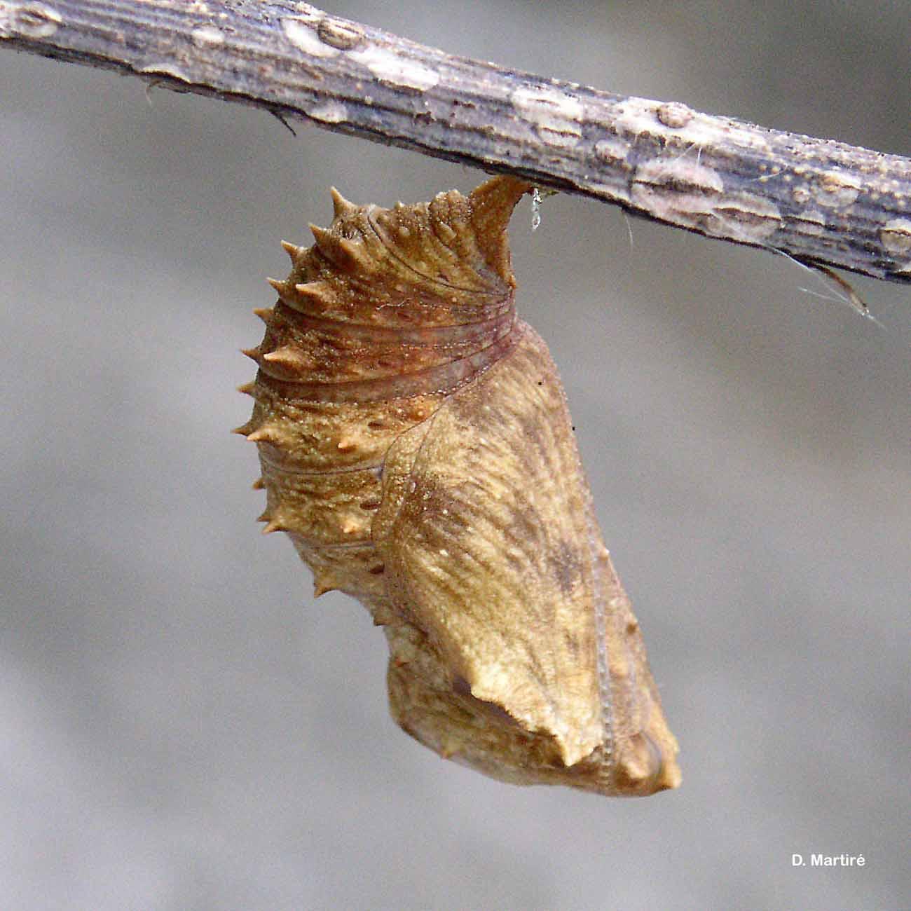 Hypolimnas misippus