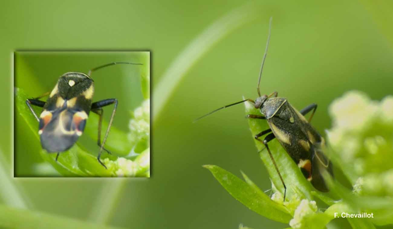 Polymerus palustris