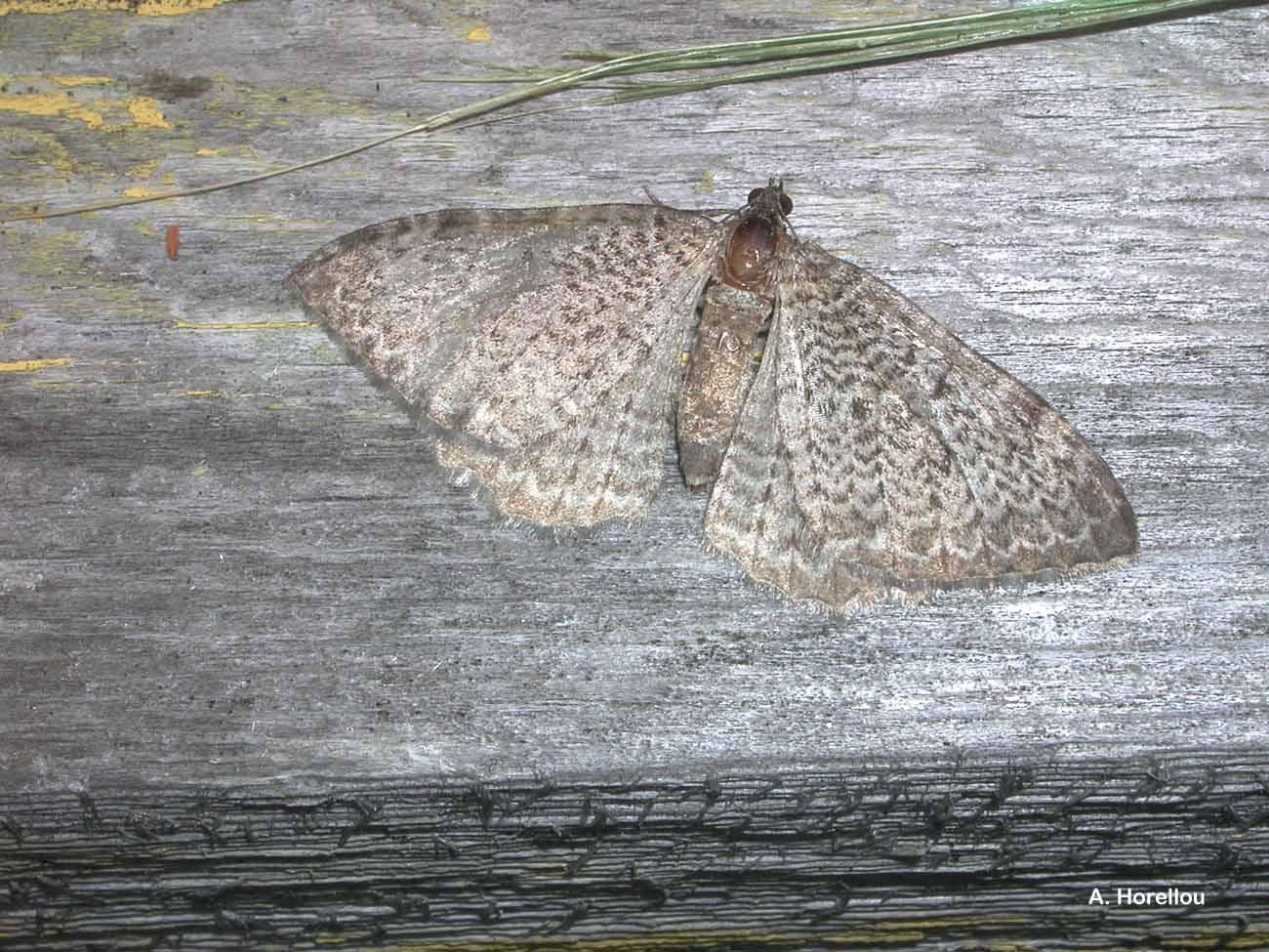 Rheumaptera undulata