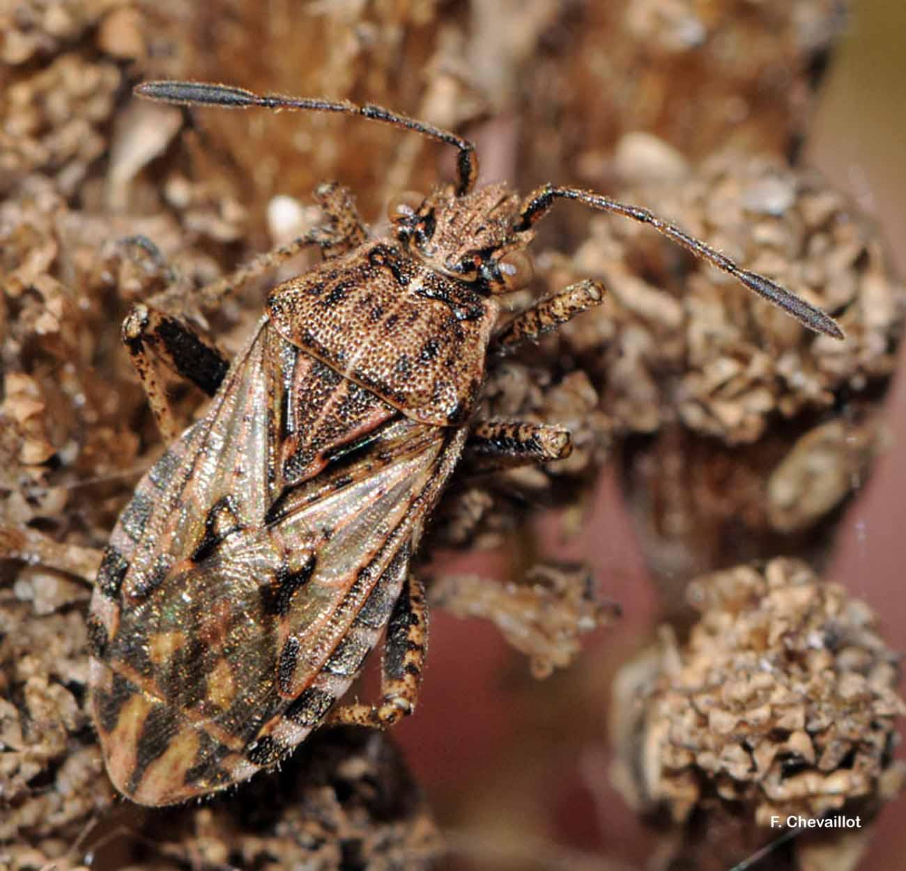 Stictopleurus crassicornis