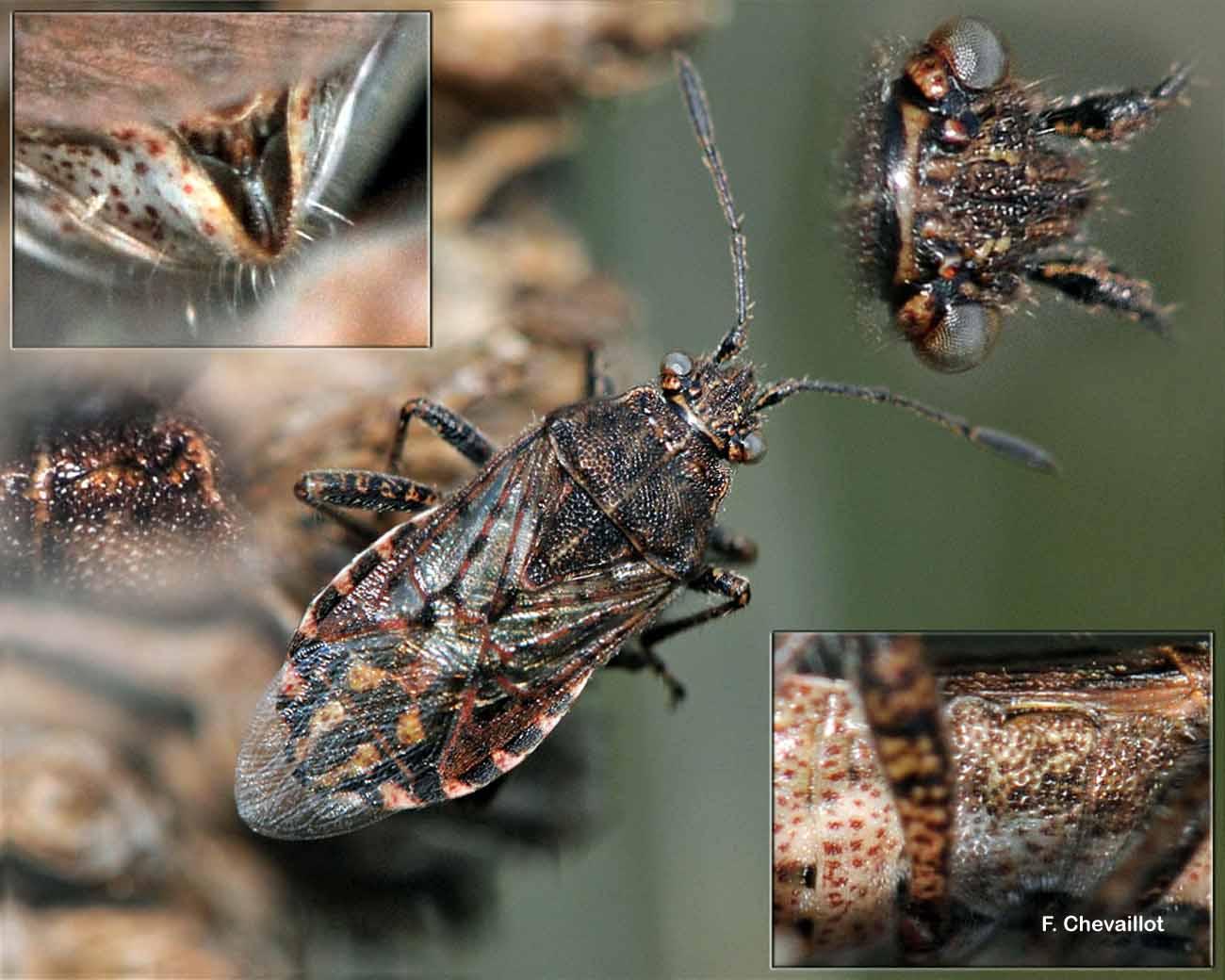 Stictopleurus punctatonervosus