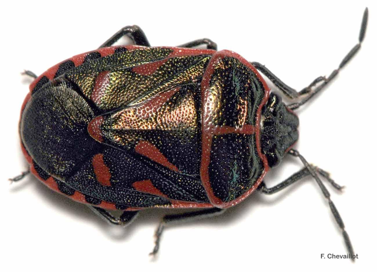 Eurydema rotundicollis
