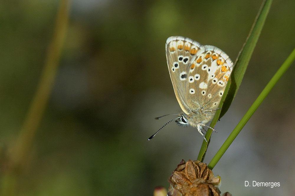Aricia morronensis