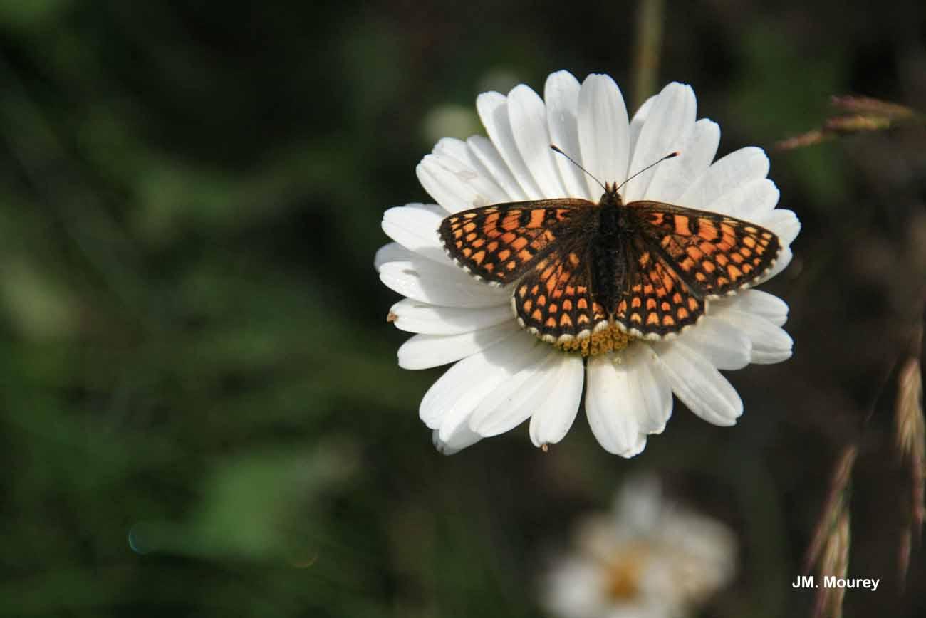Melitaea nevadensis