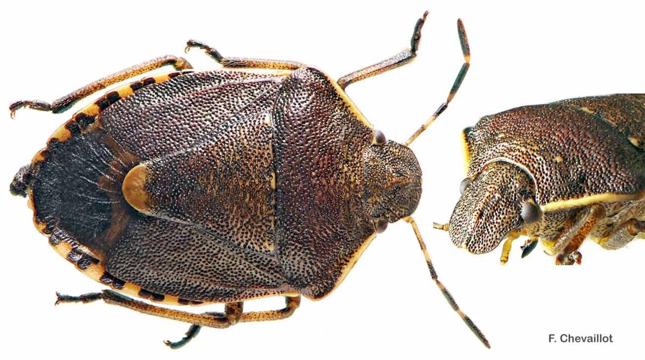 Holcostethus sphacelatus