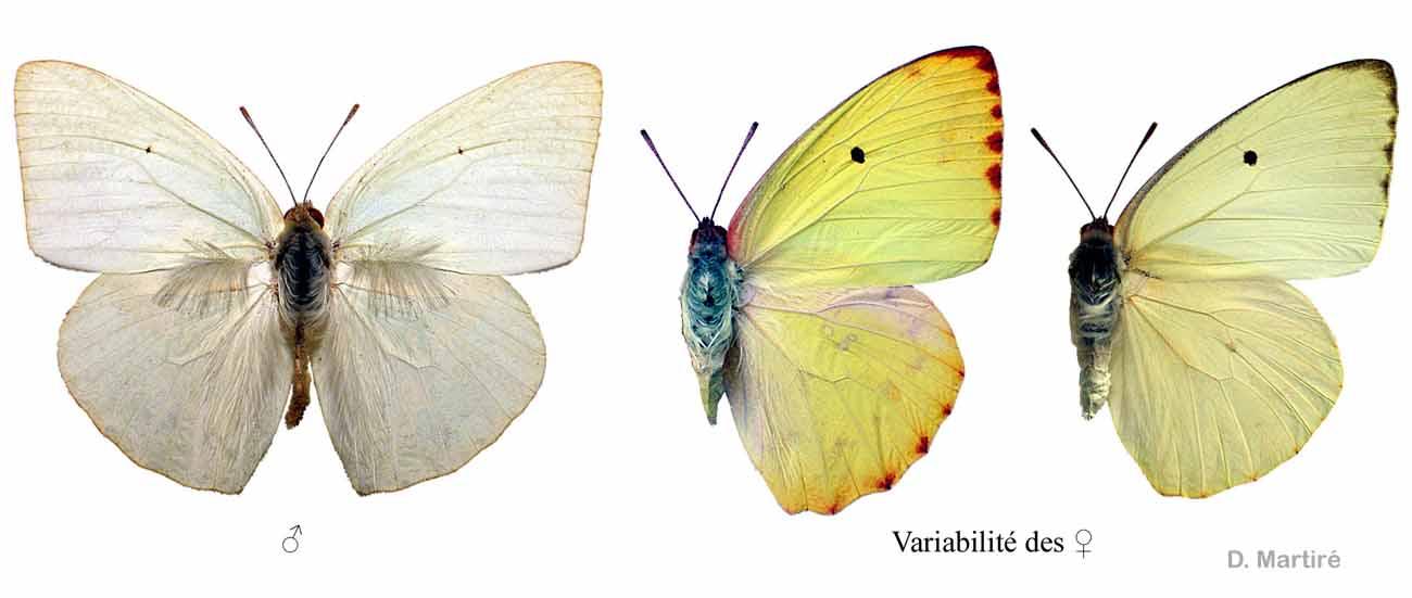 Catopsilia florella