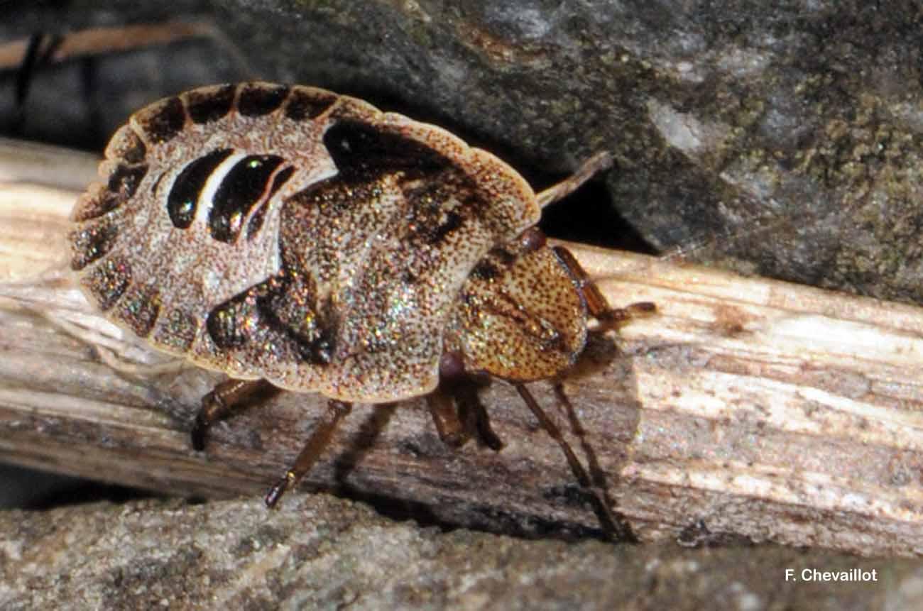 Sciocoris homalonotus