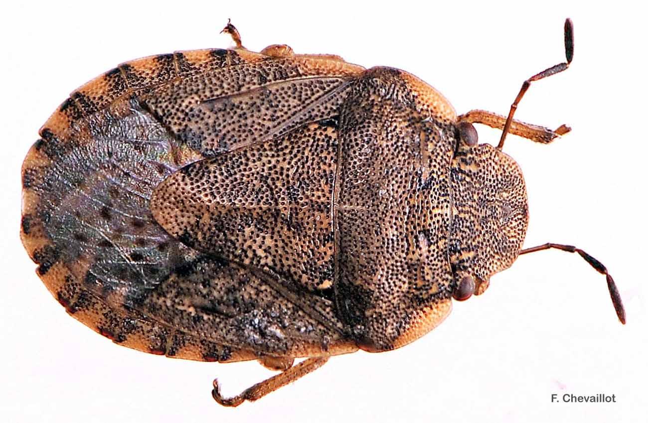 Sciocoris maculatus
