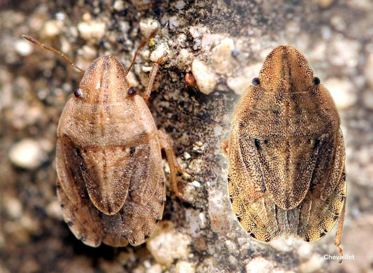 Sciocoris sulcatus