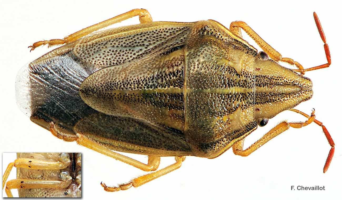 Aelia acuminata