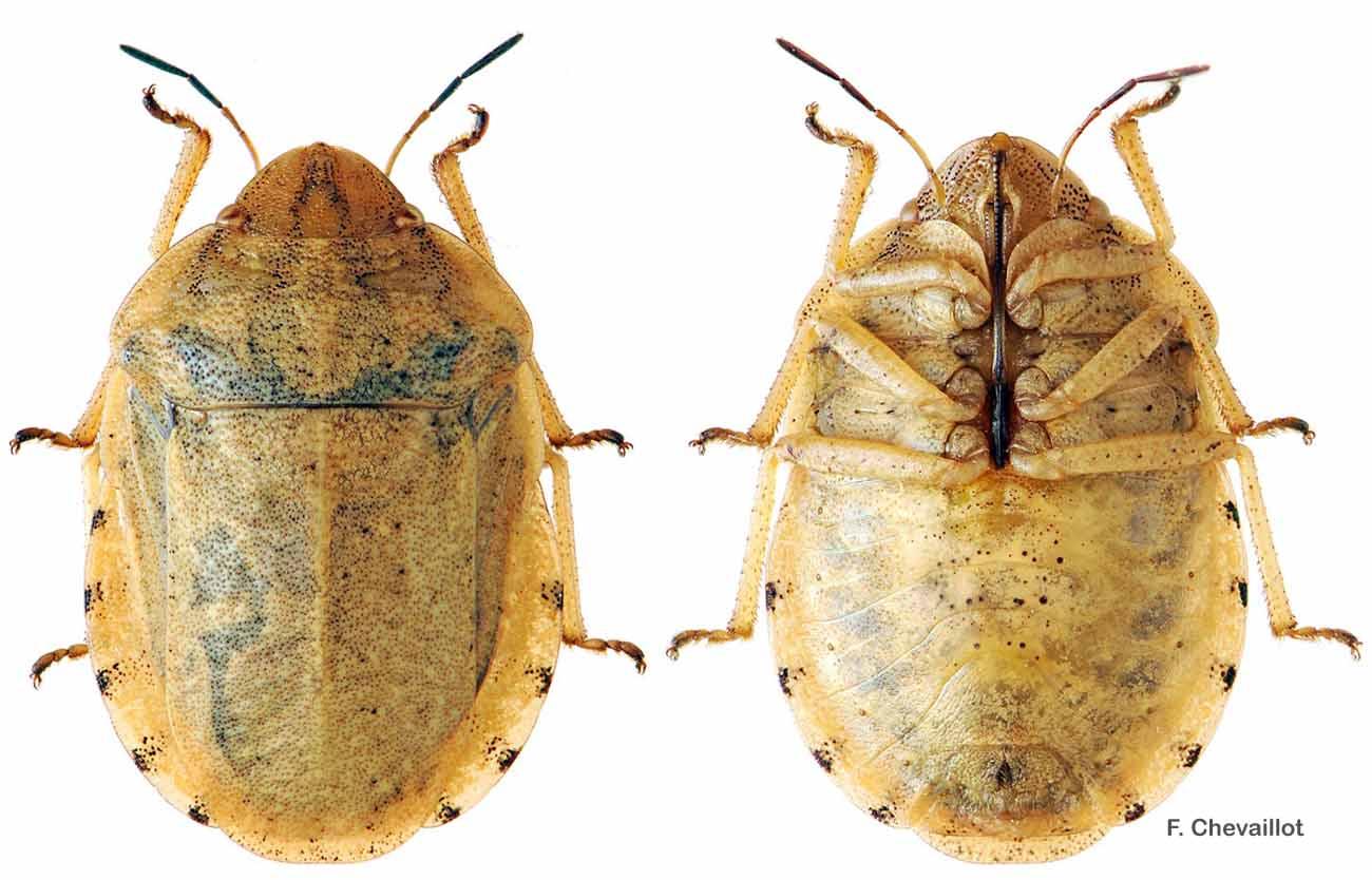 Eurygaster dilaticollis