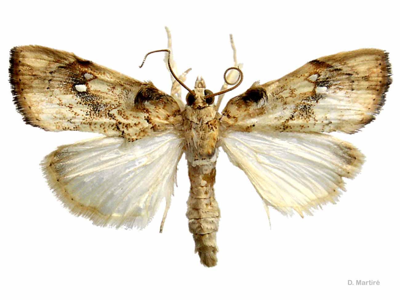 Crocidolomia pavonana