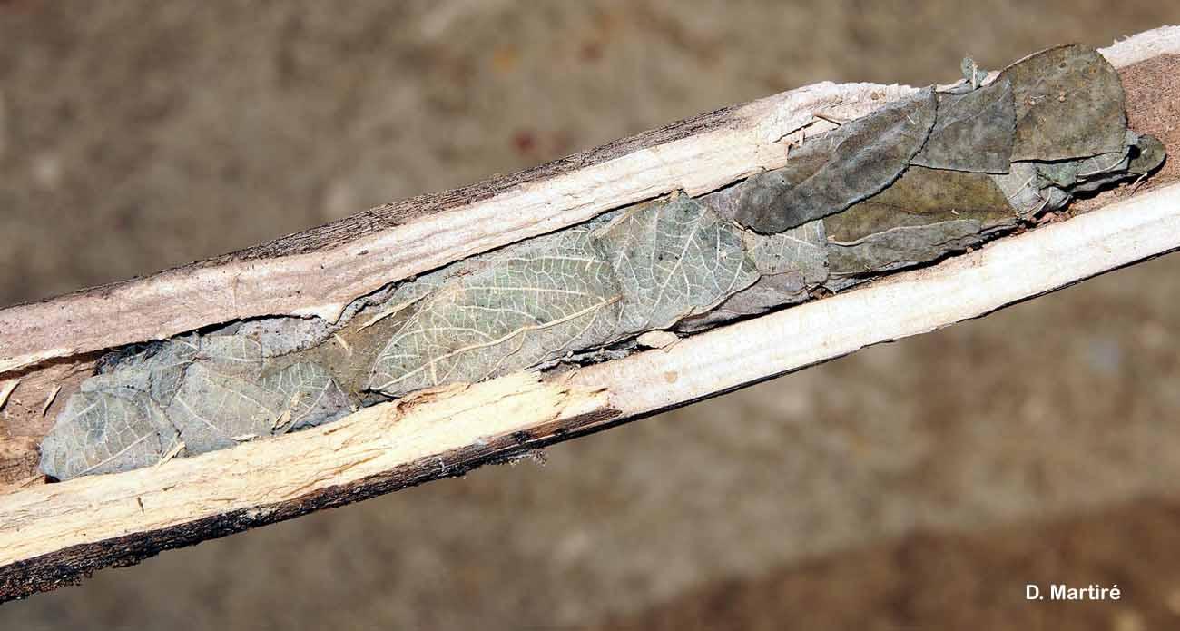 Megachile carbonaria