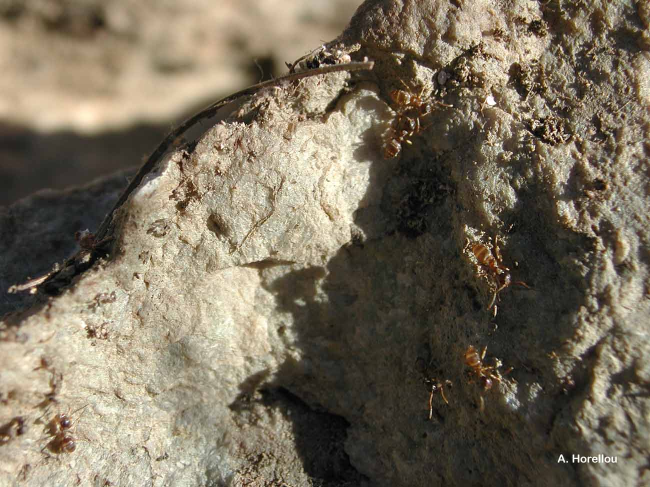 Myrmica sabuleti