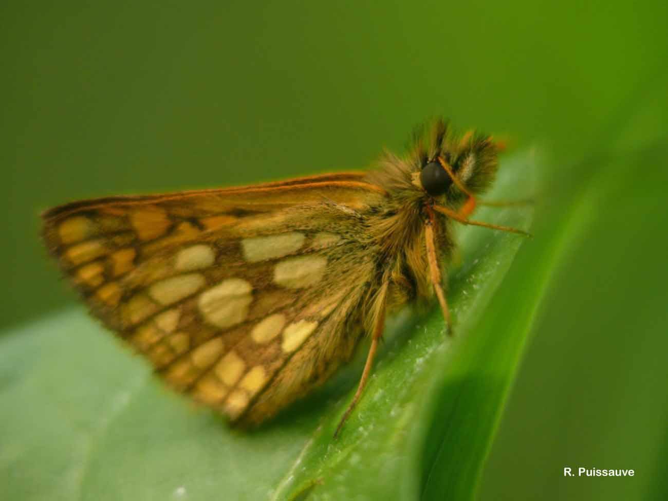 Carterocephalus palaemon