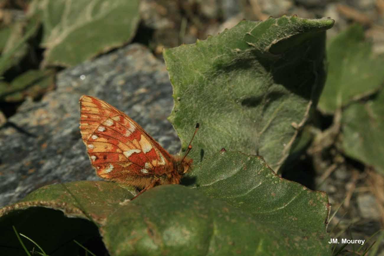 Boloria napaea