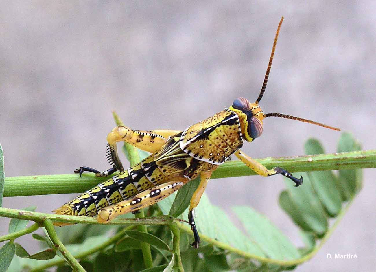 Anacridium melanorhodon