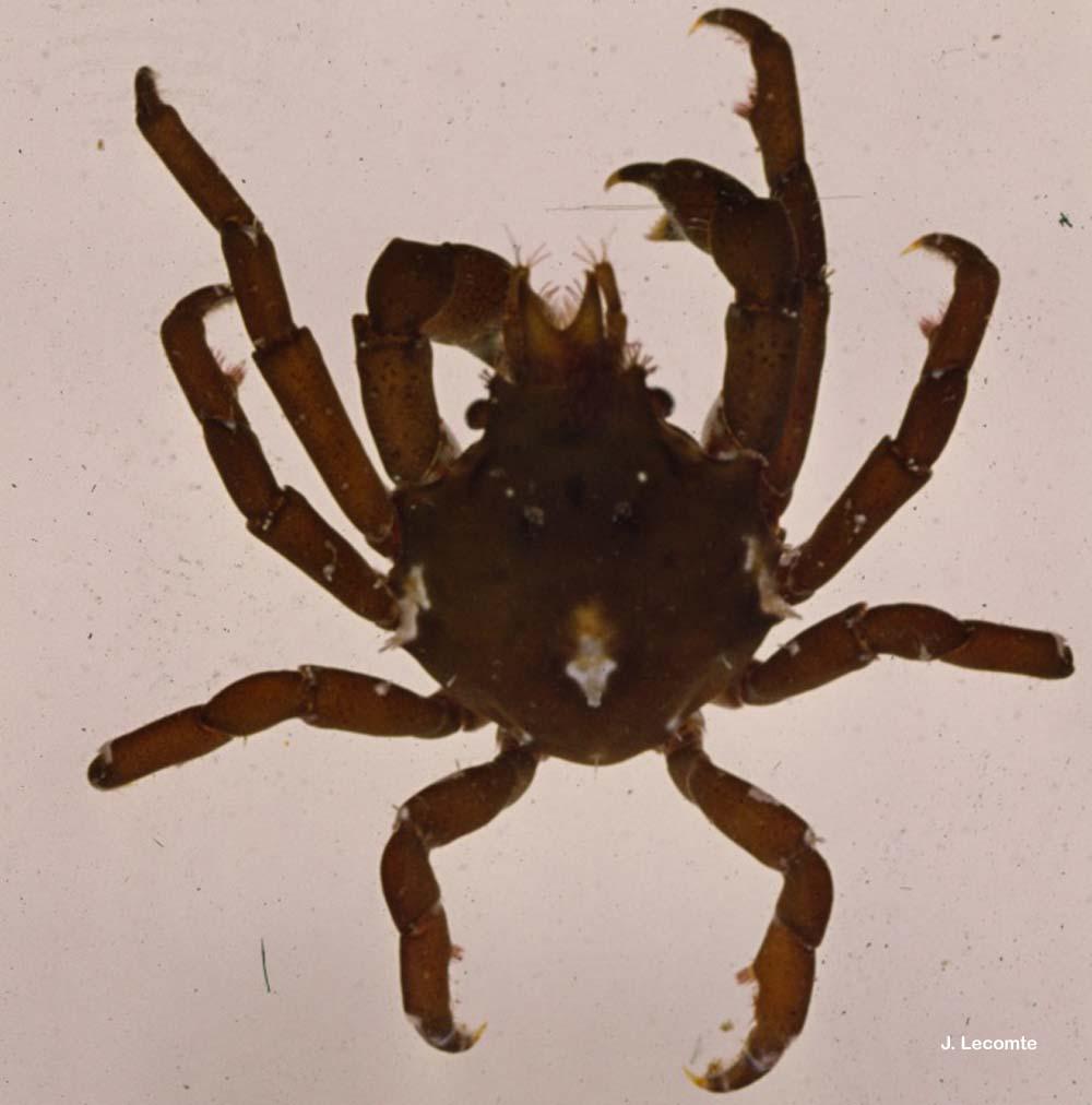Acanthonyx lunulatus