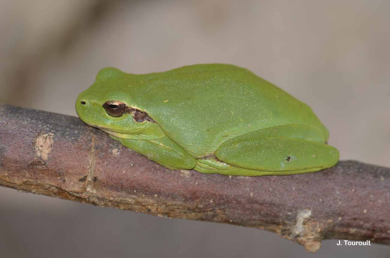 Hyla meridionalis